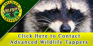 Contact Advanced Wildlife Trappers
