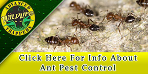 Ant Pest Control, Trapping and Removal in Central Florida