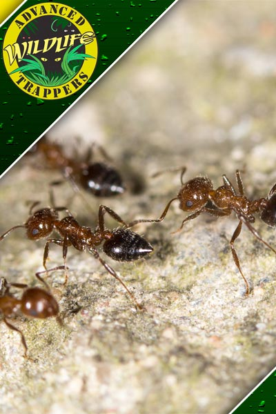 Ant Extermination in Orlando and Central Florida