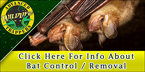 Bat Pest Control, Trapping and Removal in Central Florida