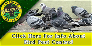 Bird Pest Control, Trapping and Removal in Central Florida