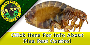 Flea Pest Control and Removal in Central Florida