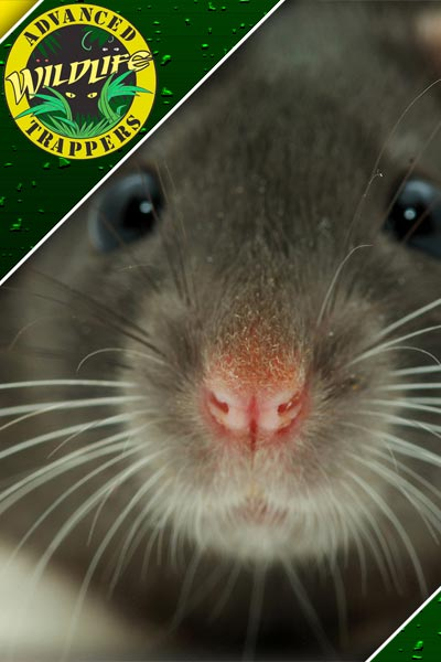 Mouse Pest Control, Trapping and Removal