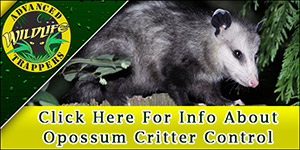 Opossum Pest Control, Trapping and Removal in Central Florida