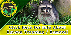 Raccoon Pest Control, Trapping and Removal in Central Florida