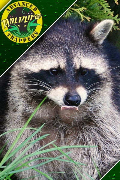 Raccoon Pest Control, Trapping and Removal