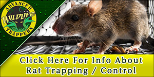 Rat Pest Control, Trapping and Removal in Central Florida