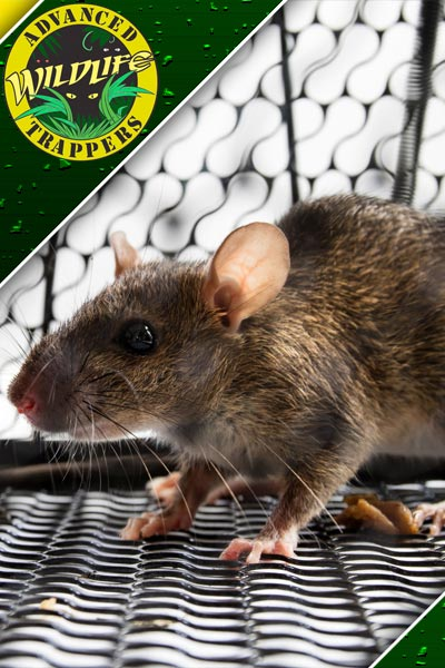 Rat Pest Control, Trapping and Removal