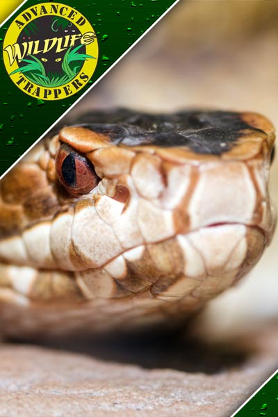 Snake Pest Control, Trapping and Removal