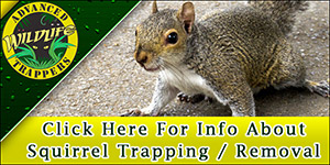 Squirrel Pest Control, Trapping and Removal in Central Florida